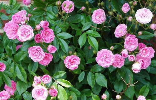 A Beginners Guide to Caring for Roses